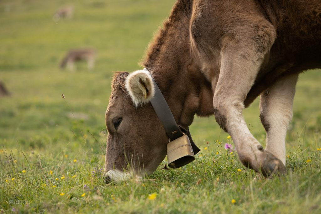 Cow with bell ate green grass and flowers
