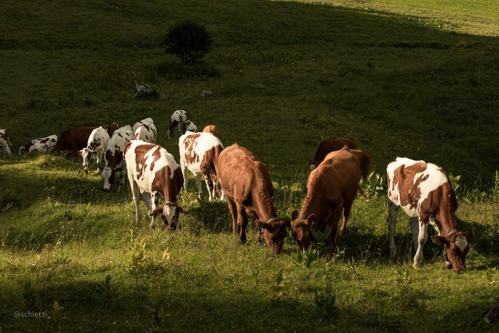 group of cows grazing